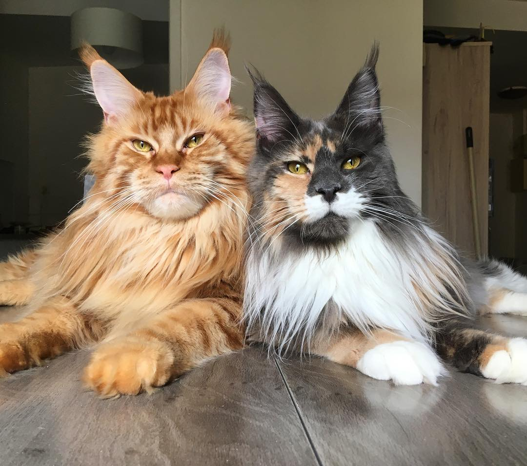 How Much Do Maine Coon Kittens Cost Infinity Kittens Cats For Sale